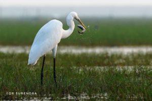 Lucky to get this shot at Mangaljodi bird sanctuary, Chilika lake, Odisha