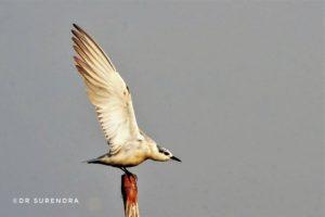 Ready to take off - as seen at Chilika lake Odisha.