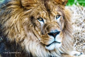 Leo III - The live mascot of North Alabama University in Florence.