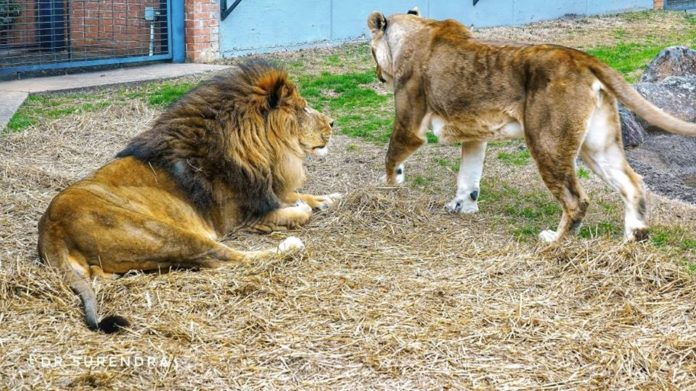 Leo III and Una - The live mascots of North Alabama University in Florence.
