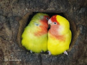 Lovebirds are small parrots- colourful, social, affectionate and live in pairs.