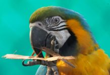 Macaw - the colourfu parrot from South America - seen at Nehru zoological park Hyderabad