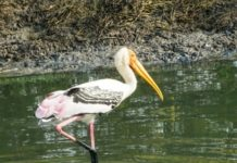 The painted stork seen at Kolleru lake, Krishna district AP.