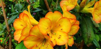Honeysuckles are colourful fragrant