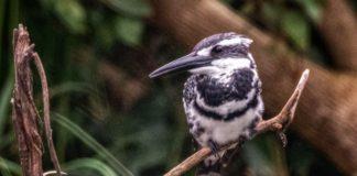 Pied Kingfisher seen at Ranganathittu Bird sanctuary Karnataka.