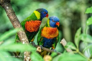 Rainbow Lorikeets of Australia