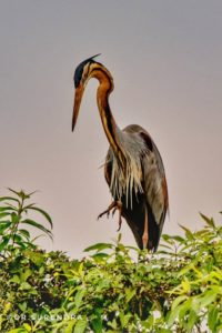 The purple heron