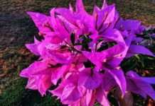 Fresh in hot summer - Bougainville