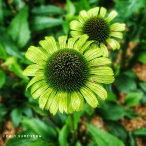 Echinacea Green Jewell