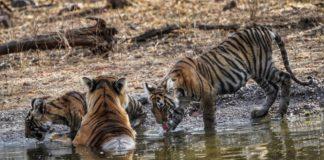 Tiger tales - Endangered