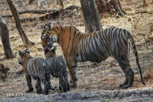 Tiger tales - Mother's