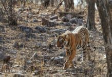 Tiger tales - Tigers are Territorial