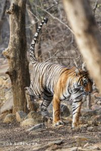 Tiger tales - Marking the territory