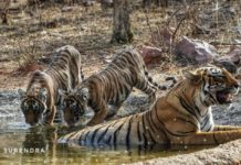 Tiger tales - Sighting