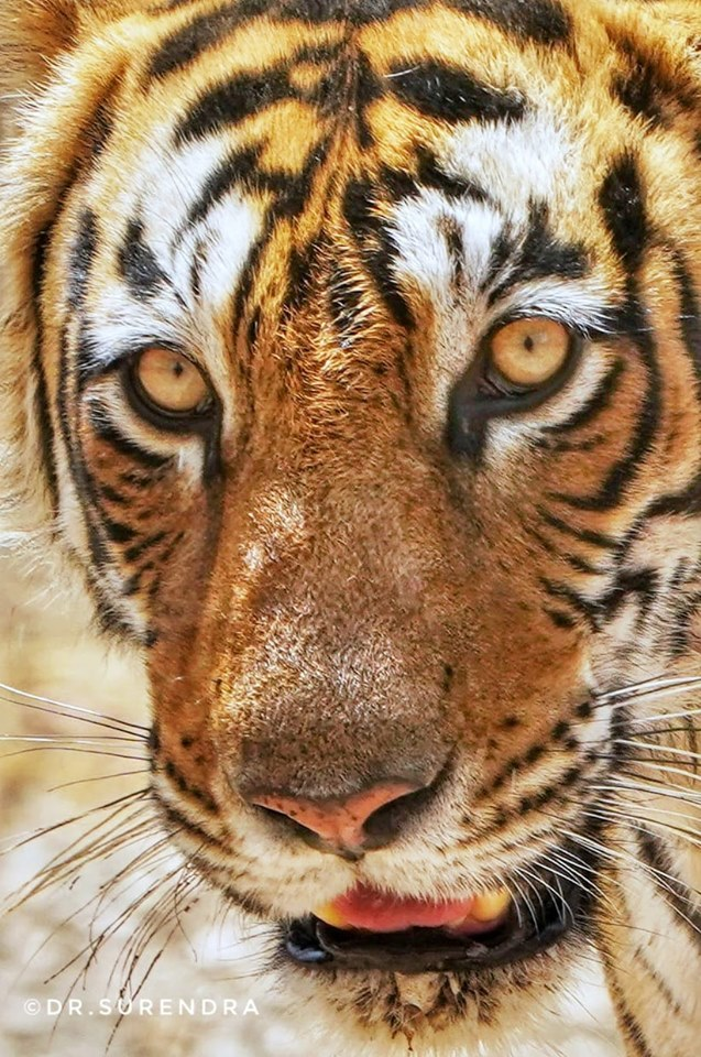 Tiger tales - The Eyes of a Hunter