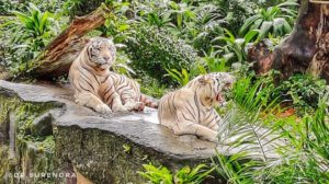 White Tigers in Singapore Zoo.