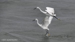 Great Egrets in action