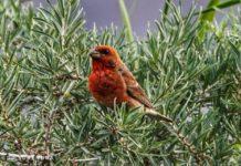 Scarlet Rosefinch