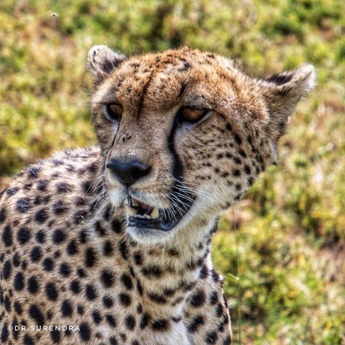 Cheetah, the fastest
