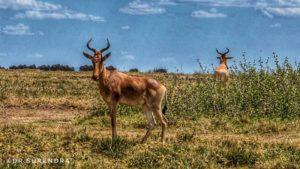 Kangoni or Hartebeest