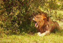 Yawning in the bush