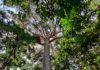 King of the Rain forest of Australia
