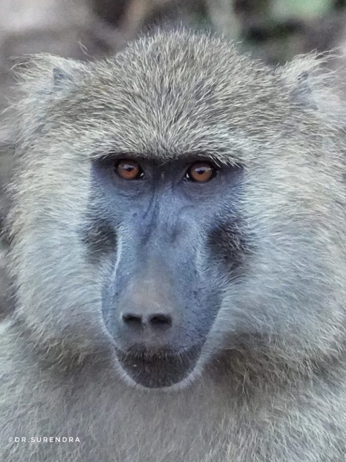 The face of a Baboon