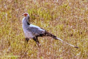 Secretary bird - a large terrestrial bird