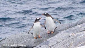 Penguins - Aquatic