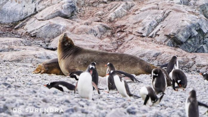 Weddell Seal with penguins