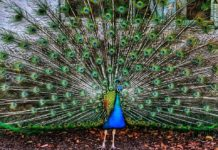 The peacock in Argentina