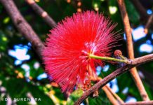 The powder puff flower of Calliandra species