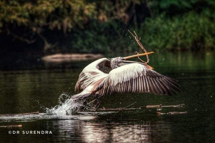 The great White Pelican