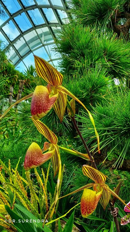 Lady slipper Orchid