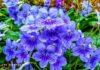 Marsh Blue violet