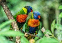Rainbow Lorikeets of Australia