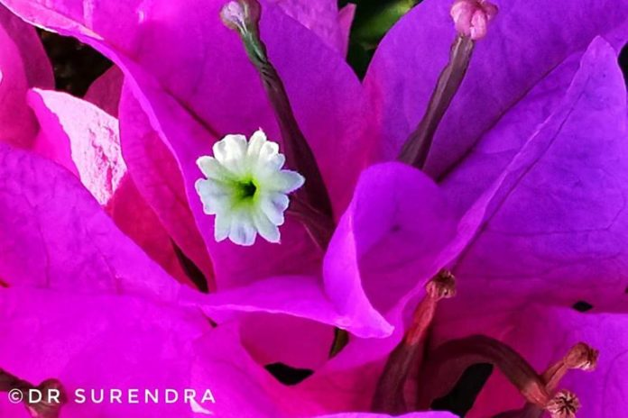 The real flower of Bougainville