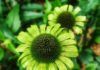 Echinacea Green Jewell