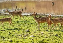Indian Spotted Deer