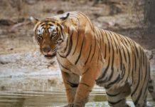 TigerTales-BengalTiger