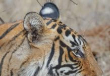 Tiger tales - the best of all senses