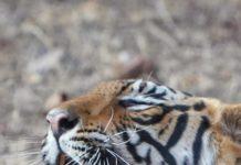 Tiger tales - We win