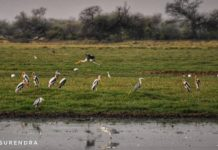 The Painted Storks