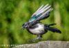 Intelligent Crow