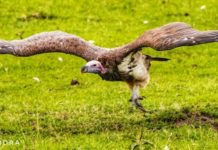 Take off by a Vulture