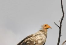White Scavenger Vulture