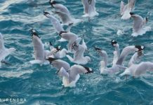 Seagulls in action
