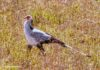 Secretary bird - a large terrestrial bird