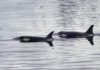 Killer whales known as Orcas