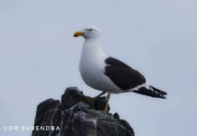 The Kelp Gull